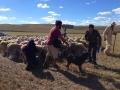 Grabando al pastor José Luis Álvarez con sus ovejas.